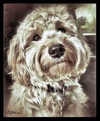 He's So Fine (flipkeat) Tags: portrait dog pet cute dogs apple beautiful face up animal animals jack golden photo close adorable mini doodle doodles mississauga iphone dogportrait jck cutestdogever minigoldendoodle