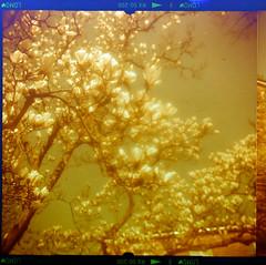 Redscale Magnolia (Carsten aus Bonn) Tags: 120 film mediumformat lomo lomography braun redscale paxina