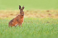 European brown hare (Wouter's Wildlife Photography) Tags: nature mammal hare wildlife ngc haas billund brownhare lepuseuropaeus zoogdier pattedyr europeanbrownhare mygearandme mygearandmepremium mygearandmebronze photographyforrecreation exploremay222013