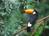 棲息在巴西林區中的巨嘴鳥。 (vincentlin1967) Tags: 動物 範例 野生生物