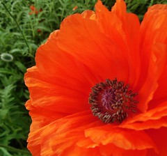 poppies 034 (cellocarrots) Tags: poppies