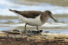 Common sandpiper (Edwyn Anderton) Tags: commonsandpiper cleymarsh