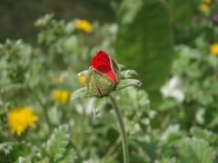 Blóm (AldakaldaRut) Tags: red flower rautt blóm