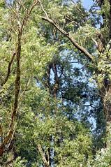 An der Treene - Silber-Weide (Salix alba) am alten Bahndamm; Schwabstedt (14) (Chironius) Tags: trees tree germany deutschland weide rboles sauce boom arbres willow rbol alemania grn albero bume allemagne arbre rvore baum trd germania schleswigholstein wilg salice weiden salix ogie aa  pomie saule  osier schwabstedt nordfriesland st  salicaceae  niemcy  rosids malpighiales   salcio pomienie weidengewchse marsault malpighienartige szlezwigholsztyn  fabids