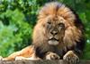 Lion (m_hamad) Tags: nature animal canon zoo dc washington leo wildlife lion taronga panthera felidae supershot 60d abigfave ultimateshot