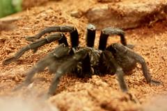 Brazilian Black (Kevin Borland) Tags: usa animal newjersey arachnid oceancounty animalia arthropoda arachnida arthropod theraphosidae araneae tomsriver insectropolis grammostolapulchra