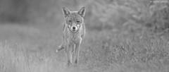 """The Warrior"" (KHR Images) Tags: wild nature closeup mammal mono nikon wildlife 300mm f4 cambridgeshire injured redfox vulpesvulpes fendrayton dogfox d7100 kevinrobson khrimages"