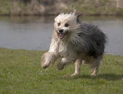 Bobtail (Antonio Arena) Tags: dog dogs running hond arena dordrecht antonio rennen bobtail honden