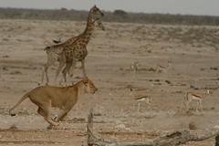 Giraffe and Lioness Running  - Etosha Namibia