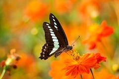 2013 common bluebottle #3 (Yorkey&Rin) Tags: summer macro japan butterfly tokyo august olympus  rin hamarikyu yellowcosmos  2013 em5 commonbluebottle