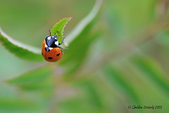 Lady Beetle (Sheldon Emberly) Tags: macro insect ladybeetle tamron90mmmacro nikond3