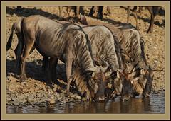 Nervous drinkers! (Rainbirder) Tags: kenya maasaimara bluewildebeest connochaetestaurinus rainbirder