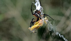 Meal Wrapping (Tobyotter) Tags: insect spider arachnid grasshopper gardenspider
