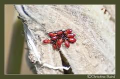 Milkweed Beetles (Summerside90) Tags: nature weeds meadows insects fields wildflowers milkweed beetles wildife milkweedbeetles
