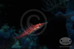 Langnasenbueschelbarsch (diverland01) Tags: canon island tiere meer wasser olympus insel maldives corals fische malediven unterwasser korallen ozean pl5 embudu 2013 langnasenbueschelbarsch rudorf
