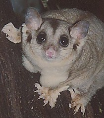Squirrel glider portrait (Anni - with camera) Tags: squirrel gliders forests hollowlimbs