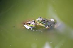 Whisper Sweet Words of Love (eyriel) Tags: nature water reflections pond wildlife humor amphibian amphibians greenfrogs