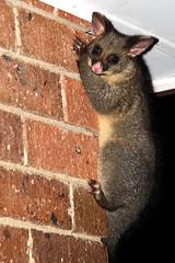 possum (Nikkichick88) Tags: possum baby animal wall night dark nocturnal fluffy australia melbourne victoria