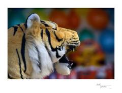 Stuffed Tiger (heritagefutures) Tags: camera paris france project french toy stuffed alley nikon antique tiger fair aerial ser sha simulator sideshow d800 hexar f35 parisien iia 20cm rokuoh sk100