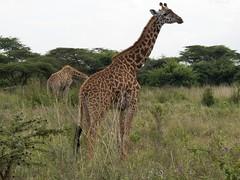 Masai Giraffe (Makgobokgobo) Tags: masaigiraffe kilimanjarogiraffe giraffe mammal nairobinationalpark nairobi kenya africa giraffacamelopardalistippelskirchi giraffacamelopardalis giraffa