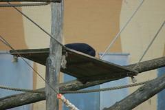 Chimpansee (Jan van den Berg) Tags: bergen safaripark kerstdiner beekse