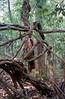 Kaopahin_strangled_tree.800 (axelsaffran) Tags: travel tree analog forest thailand photography wilderness strangled