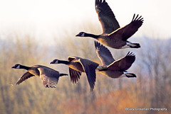 Winter Flight (Gary Grossman) Tags: nature landscape fly geese natural northwest wildlife flight pacificnorthwest organic canadageese pacificflyway