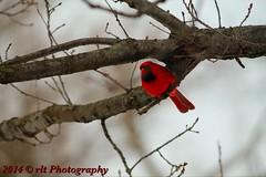 Snug (rlt 2012) Tags: winter red tree pittsburgh cardinal pennsylvania