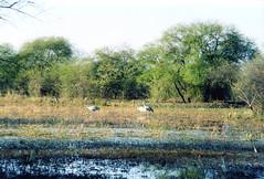 Keoladeo NP, Rajasthan, India, 1998 (east med wanderer) Tags: india unesco worldheritagesite cranes rajasthan wetland bharatpur keoladeonationalpark sarus theindiatree keoladeobirdreserve