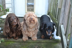 I Tried, They Didn't (Tobyotter) Tags: frank dachshund link jimmydean