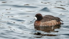 Greater Scaup (Aythya marila) (ER Post) Tags: bird duck unitedstates michigan muskegon greaterscaupaythyamarila
