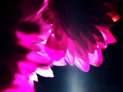 2.14.14: Up Light (Ruff Edge Design) Tags: flowers overlay fuschia mums cropped dyed gaussianblur {vision}:{plant}=0533 {vision}:{dark}=0671 {vision}:{flower}=084 {vision}:{sky}=0549