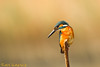 "The ""common"" one! (BorisWorkshop) Tags: bird nature taiwan commonkingfisher supershot avianexcellence hunei coth5 mygearandme mygearandmepremium mygearandmebronze mygearandmesilver mygearandmegold mygearandmeplatinum photographyforrecreationeliteclub sunrays5"