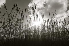 (laufar1) Tags: blackandwhite bw spring sunbeam fieldsofgold supershot