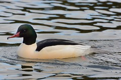 Drake. (stonefaction) Tags: nature birds scotland dundee wildlife common ponds merganser faved goosander swannie explored