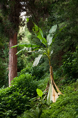 Banana (BartoszJania) Tags: wood summer tree green forest georgia botanical woods nikon rainforest banana caucasus bananatree batumi d90 adjara kaukaz sakartwelo gruzja batumibotanicalgarden