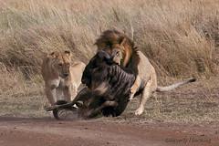 Kenya-34 (Beverly Houwing) Tags: kenya wildlife hunting safari lions migration predator wildebeest masaimara eastafrica capturing