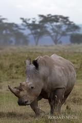 Lake Nakuru - Black Rhino (Rolandito.) Tags: africa park lake black safari national rhino afrika nakuru rhinocerus