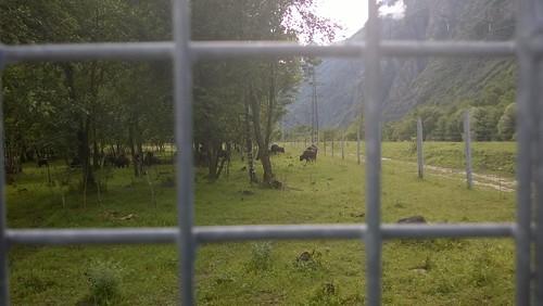 Buffels bij de camping