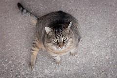 Fat Cat (JustJamieLeigh) Tags: cat cats pet pets feline felines animal animals kitty fuji x100t fujix100t