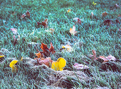 Frozen leaves (Lise1011) Tags: grass autumn maple nature frost outdoor rural yellow leaves red