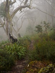 "Snowgums in fog • <a style=""font-size:0.8em;"" href=""http://www.flickr.com/photos/44919156@N00/32892042064/"" target=""_blank"">View on Flickr</a>"