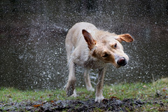 Shake (clé manuel) Tags: dog shake water shaking schütteln hund natur wet nass fur fell nature pond animal pet droplets tropfen labrador shepherd sonyalpha alpha a6000 6000