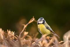 bluetit tit bird birding birder moore bokeh spring outdoor