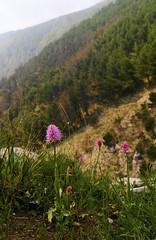 """SDIM1896-sd1- """"Orchis italica""""- mamiya- sekor uld 24mm f4 (ciro.pane) Tags: sigma sd1 merrill foveon orchidea selvatica promontorio punta campanella italia italy italien italie orchis italica"""