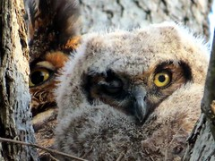 A Great-Horned Owlet on the verge of leaving the nest. (kennethkonica) Tags: nature bird canonpowershot summer global random hoosiers marioncounty midwest america usa indiana indianapolis indy colors animaleyes animal outdoor c owlet greathornedowl baby owl raptor wildlife wild stare spring april fuzz animalplanet bestshotoftheday eyes
