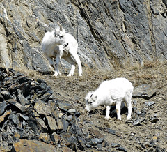 Juvenile Dalls Sheep (J.P. EVERETT) Tags: ovis dalli dall dalls sheep alaska ak turnagain arm cliff ledge