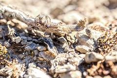 A table! (Sehne.G - Photographie) Tags: saltique araignéesauteuse fourmis
