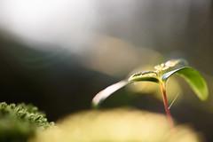 New life emerges (Ir3nicus) Tags: geldern nordrheinwestfalen deutschland nikond750 dslr fullframe outdoor nature natur bokeh macro makro pflanze plant closeup moss sunlight sonnenlicht leaves sunny sonnig blätter nahaufnahme shallowdepthoffield geringeschärfentiefe 105mm afsvrmicronikkor105mm128gifed prime spring frühling