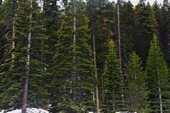 Tall Evergreen Trees (Yosemite National Park) (thor_mark ) Tags: capturenx2edited colorefexpro day3 evergreentrees evergreens glacierpoint glacierpointparkinglotview lookingwest nature nikond800e project365 snowylandscape trees triptopasoroblesandyosemite yosemitenationalpark ca unitedstates